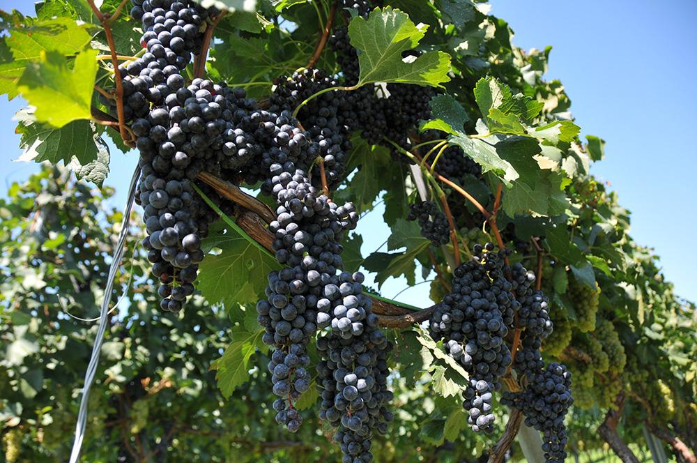 村内のワインブドウ畑